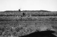 sugar cane_0031
